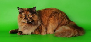 Британские длинношёрстные кошки имеют один стандарт породы