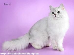 Британские длинношёрстные кошки - породы