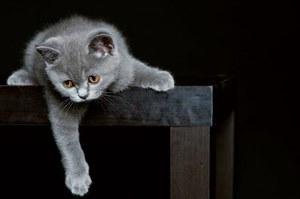 Содерджание британской кошки