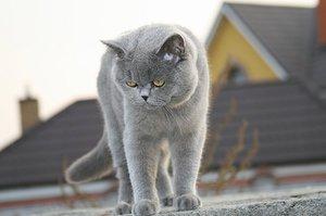 Как ухаживать за британской кошкой