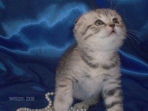 Вислоухий котенок британец