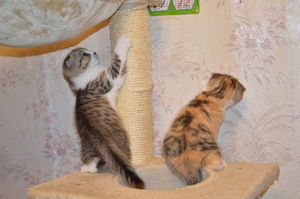 Котёнок британский Вислоухий