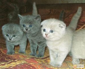 Яркие британские котята