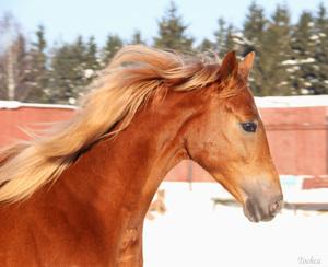 Буденновская лошадь и ее содержание