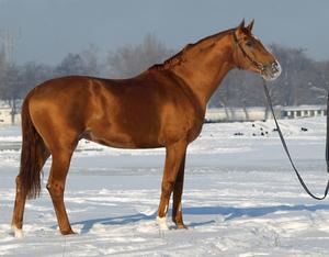 Конь породы буднновская
