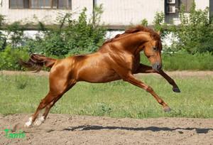 Верхово-упряжная порода лошадей