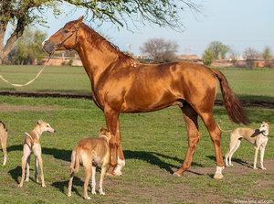 Лошадь и собаки