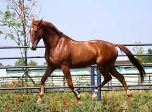 Лошадь буденновская бежит