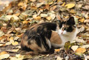 Встреча с трехцветной кошкой - к удаче