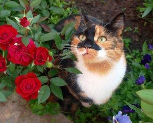 Милая трёхцветная кошка и цветы