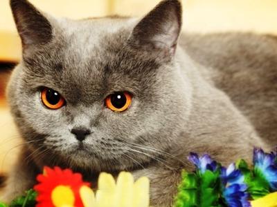 Чем кормить британского котёнка в разном возрасте