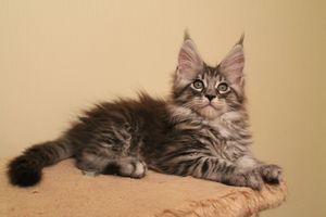 Особенности кормления котенка мейн-куна