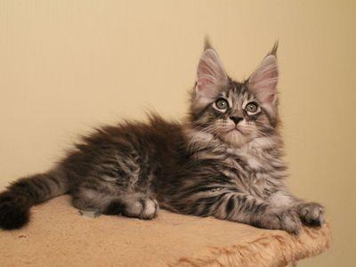 Чем кормить мейн-куна: рацион для котенка и взрослой кошки