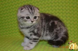 Чем нельзя кормить шотландский котят
