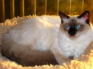 Взрослый кот балинезийской породы