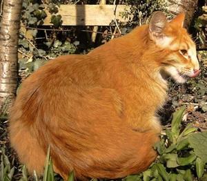 Рыжая ориентальная кошка