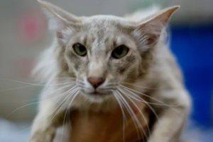 Характерная внешность ориентальной кошки