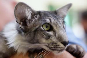 Содержание ориентальной кошки дома