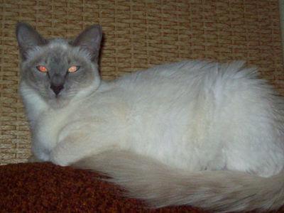 Длинношерствные ориентальные кошки: описание породы