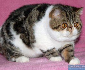 Внешность и характер Экзотической короткошерстной кошки