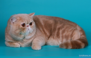 Внешность экзотической короткошерстной кошки