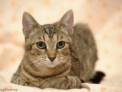 Европейская короткошёрстная кошка, кельтский короткошёрстный вид