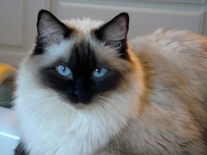 Темперамент гималайской кошки