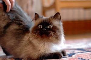 Составление рациона для гималайской кошки