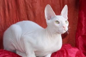 Белая кошка Корниш-рекс
