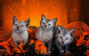 Ликои котята