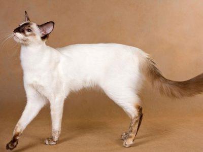 Гипоаллергенные (антиаллергенные) породы кошек