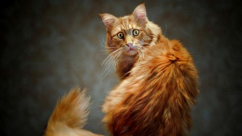 Интересное о рыжем коте