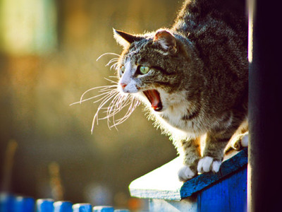 Как часто и сколько дней гуляет кошка