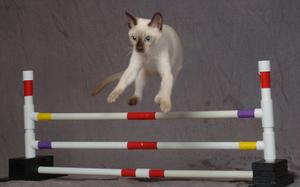 Как дрессировать кошку: советы специалистов