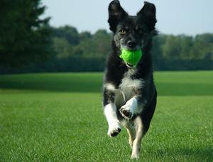 Собака приносит мяч