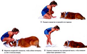 Правила дрессуры собак