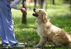 Дрессировка взрослых собак