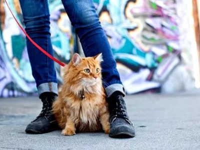 Как одеть шлейку на кошку и какие выбирать поводки
