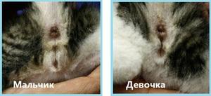 Котенок - мальчик или девочка, как понять?