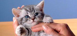 Как определить, сколько месяцев котенку