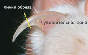 Правильная стрижка когтей у кошки