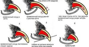 Схема стрижки когтей кошки