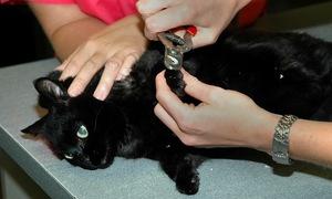 Черной кошке стригут когти