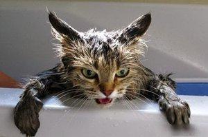Купание кошек: особенности процедуры
