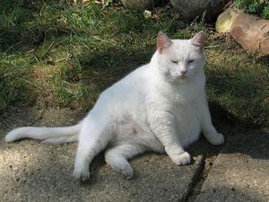 Белая беременная кошка