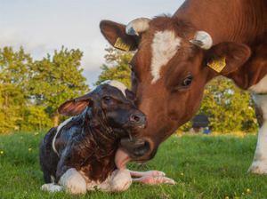 Как выбрать кличку для коровы