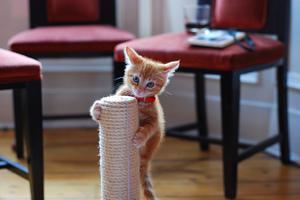 Котенок забрался на верх когтеточки