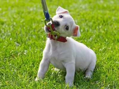 Как приучить щенка к ошейнику и поводку?
