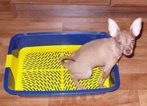 Как приучать щенков к туалету