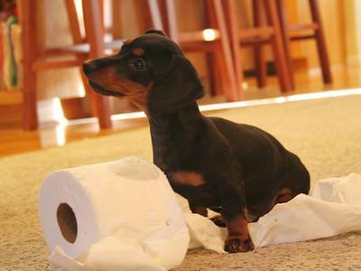 Как приучить щенка к туалету: в квартире и на улице
